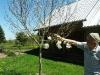 Japoninės magnolijos žydėjimas