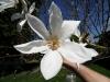 Japoninės magnolijos žiedas