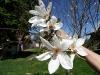Japoninės magnolijos žiedai