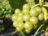 Seyval Blanc (antramečio sodinuko kekė)