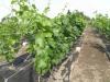 Augantys vynmedžių sodinukai