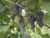 Nokstančios vynuogės