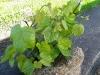 Jaunas vynmedžio krūmas pavasarį