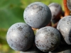 Mėlynosios vynuogės