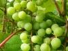Augančios vynuogės
