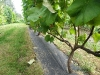 Vynmedis vasarą