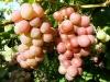Baigiančios nokti vynuogės