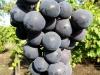 Mėlynųjų vynuogių kekė