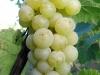 Žaliųjų vynuogių kekė