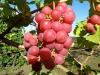 Raudonųjų vynuogių kekė