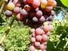 Besėklių vynuogių kekė