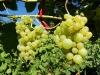 Prinokusios vynuogės